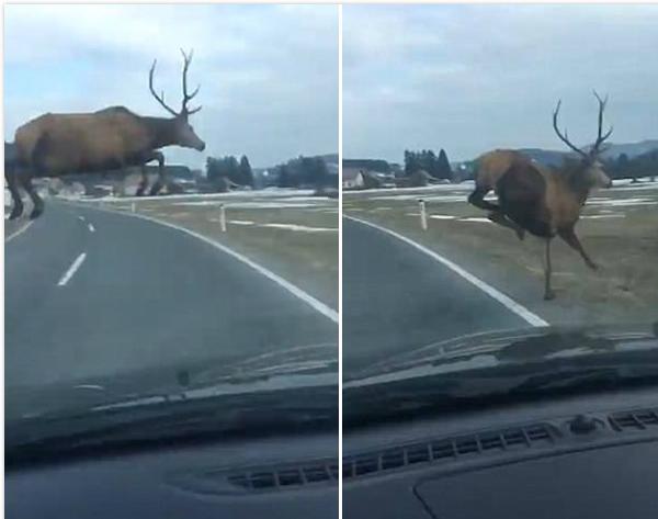 """惊呆!""""大长腿""""雄鹿飞跨行驶汽车横穿马路"""