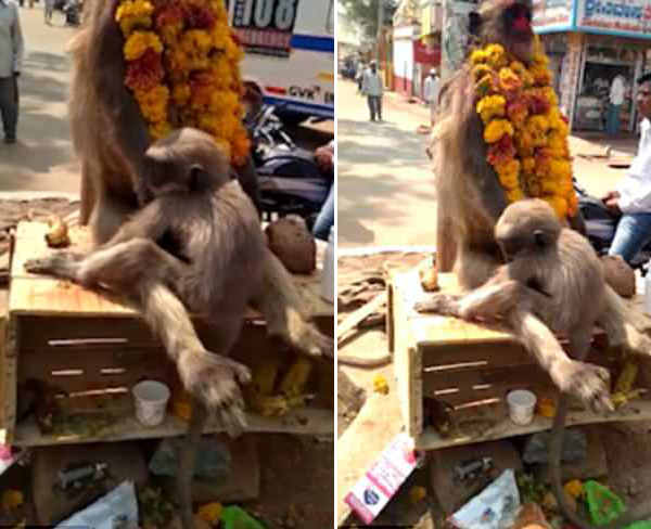 印度一母猴触电身亡 幼猴紧紧拥抱母亲令人动容