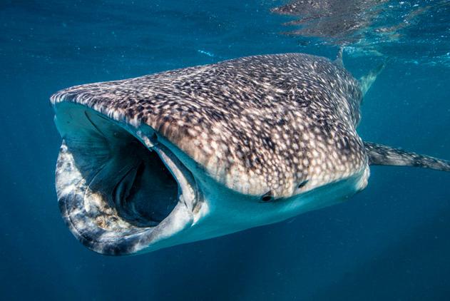 用生命在拍照!摄影师拍鲨鱼仅咫尺之隔
