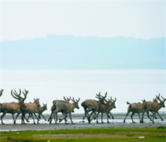 鄱阳湖湿地首次野外放生麋鹿