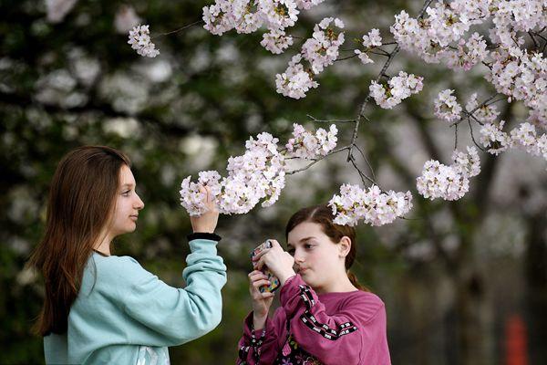 美国华盛顿樱花绽放 少女赏花拍照
