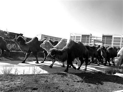 23峰骆驼现身街头引围观 主人称不影响交通