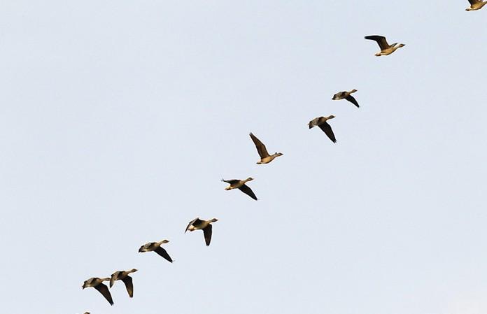 英国科学家研发迁徙预测系统 可拯救数百万只鸟