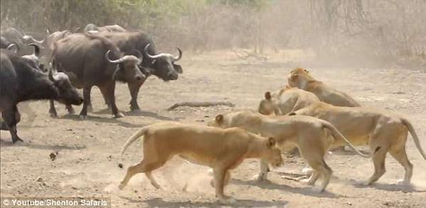 僵持不下!赞比亚500头水牛与10只狮子对峙