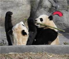 四只熊猫落户加拿大卡加利 5月起允许民众参观
