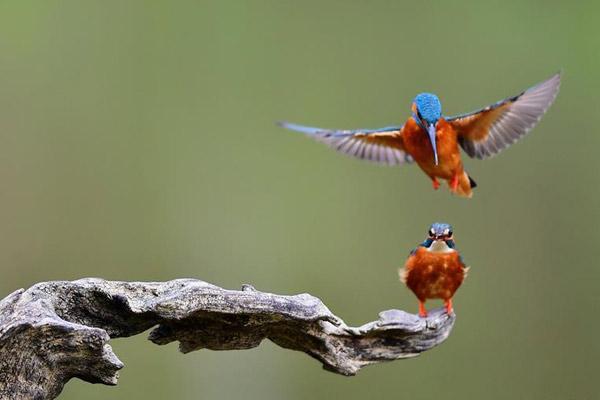 翠鸟的春天