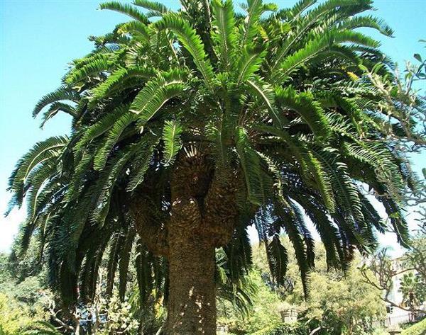 真可怜:一棵永远找不到女朋友的树