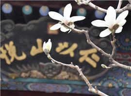 北京:颐和园玉兰花进入盛花期 吸引众多游客前来观赏