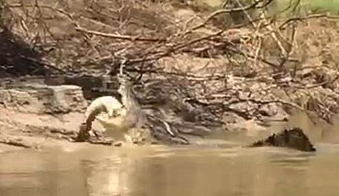 澳5米长咸水鳄撕碎3米长淡水鳄 生吞其整条尾巴