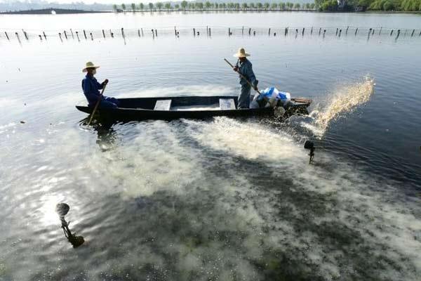 杭州:西湖荷塘开始清塘