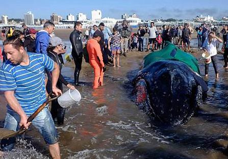 座头鲸搁浅阿根廷海滩 众人齐心协力助其重返大海