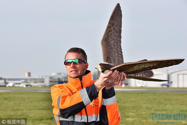 飞机和鹰分不清!英国仿鹰无人机用于驱逐鸟群