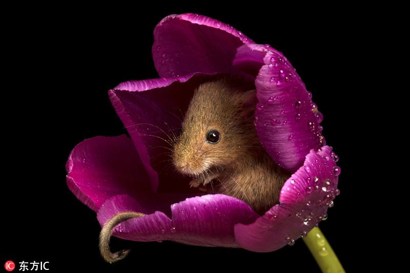可爱巢鼠以花为床 小小花仙子上线萌翻啦