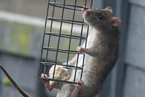 杂技鼠登场!英一老鼠单爪悬空智取鸟食