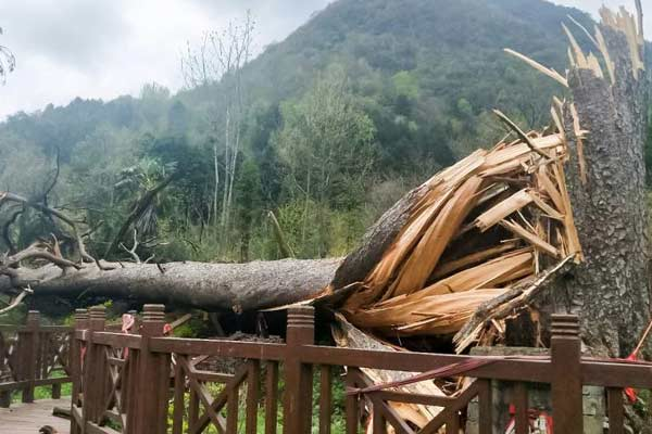 """陕西汉中一450岁""""夫妻古树""""被大风刮倒"""