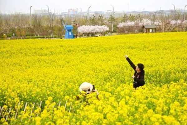 青岛油菜花美丽绽放 金色花海吸引游客纷至沓来