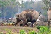母爱伟大!印度一母象竭尽全力救出陷入泥坑幼象