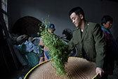 揭秘大山里的茶厂:销售额上百万元 远销海外