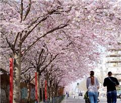 德国柏林樱花盛开春意盎然