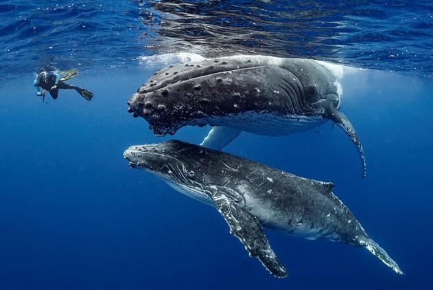 """摄影师和座头鲸趣味同游 """"好奇宝宝""""甩尾互动"""