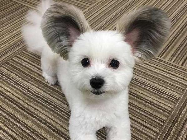 萌翻!日本小狗大圆耳朵酷似米老鼠圈粉无数