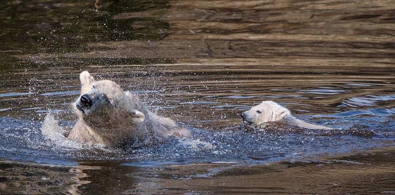 可爱!英国唯一北极熊幼崽与母亲水中悠闲嬉戏