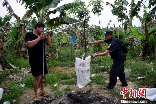 """三条眼镜王蛇泼水节闯入香蕉地工棚""""凑热闹""""被擒获"""