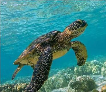 研究:海龟基因与出生地磁场有关 将有助生态保护