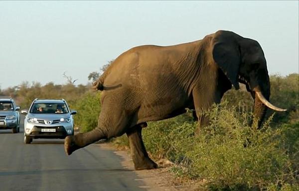 """南非一大象在路边""""拉伸筋骨""""阻断车流"""
