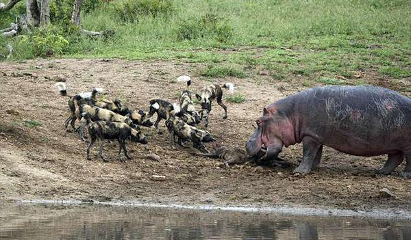 南非河马遭鬣狗群挑战 拉锯战中输掉美味