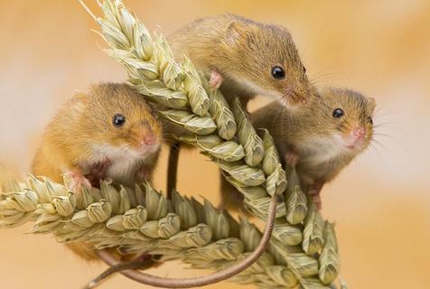 萌翻!英收割鼠麦穗花朵间玩耍尽显可爱