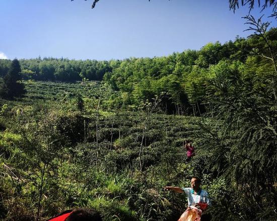 杨俊成说,因为生长这个海拔高度的茶树,没有虫害,符合有机种植的科学条件。