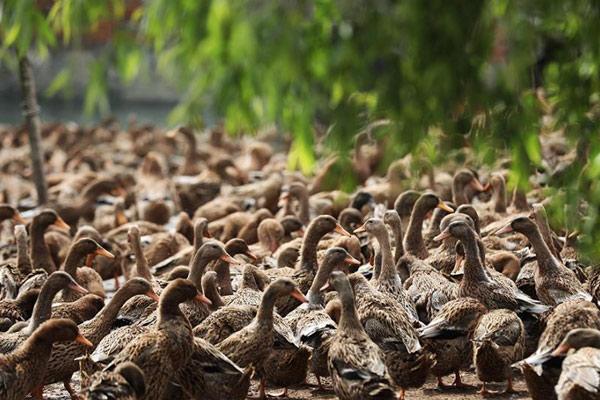航拍江苏高邮鸭种源保护基地 数千鸭子水中嬉戏