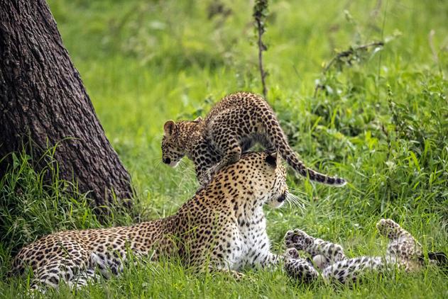 当母亲好累!肯尼亚小花豹踩妈妈脑袋当垫脚石