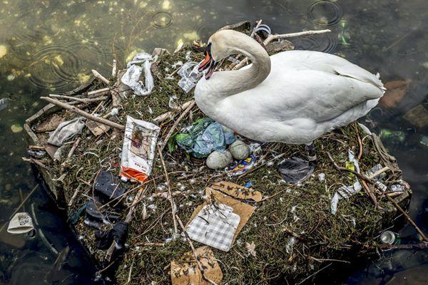 丹麦哥本哈根湖上污染严重 天鹅以垃圾筑巢产蛋触目惊心