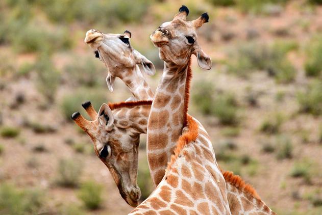 南非长颈鹿见面玩拥抱 长脖交缠姿势难度高