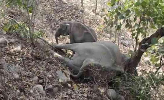 印度小象意外丧母 哀嚎流连久久不愿离去
