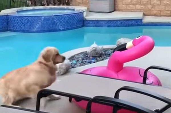 可爱!好奇金毛犬嗅充气火烈鸟被其反弹吓一跳