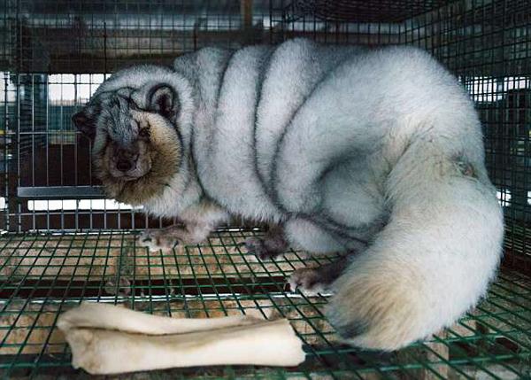 """芬兰养殖场主为牟取暴利将狐狸养成超肥""""怪物"""""""