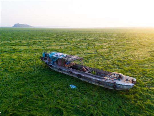"""鄱阳湖持续低水位一片绿油油""""草浪"""""""