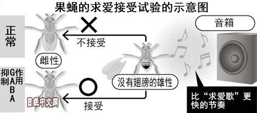 """日本团队研究出果蝇传递""""求爱""""信息机制"""