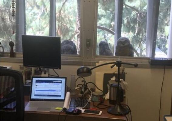 美大学教授办公室窗台现3只小猫头鹰 引学生热议