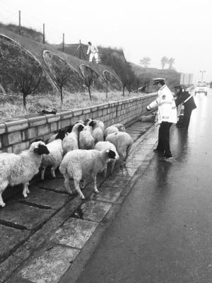 货车侧翻羊群失控奔突高速 民警帮赶羊5个多小时