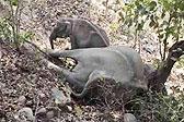 印度小象意外丧母 哀嚎久久不愿离去