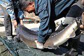 鸭绿江捞出1米9长大鱼 68条估价超600万元