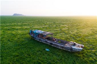 """鄱阳湖持续低水位 一片绿油油""""草浪"""""""