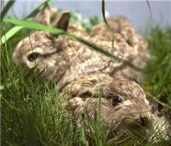 当心兔子!罕见细菌感染性疾病在瑞士扩散