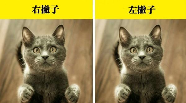 你不了解的冷常识:猫究竟是右撇子还是左撇子?