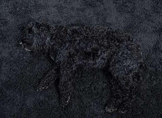 """英一黑犬拥有""""隐身""""技能 为家庭增添不少乐趣"""