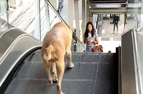 原地踏步!泰小狗想下楼却错走上行扶梯